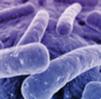 bacterien
